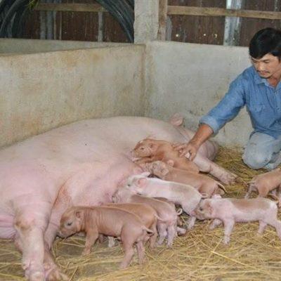 Kỹ thuật chăm sóc lợn nái sau khi sinh mau hồi sức
